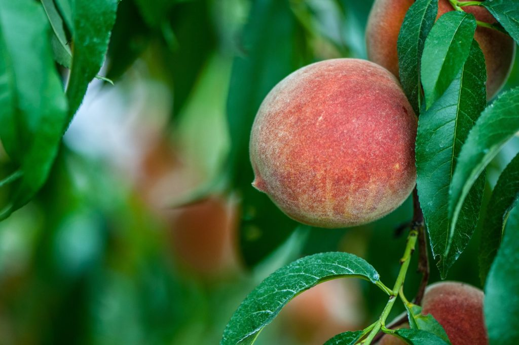 Peaches from Colorado